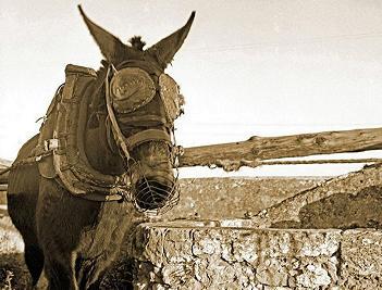 20140421133324-burro-con-orejeras.jpg